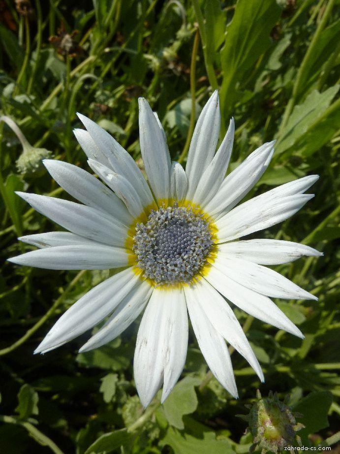 Arctotis - květ (Arctotis venusta)
