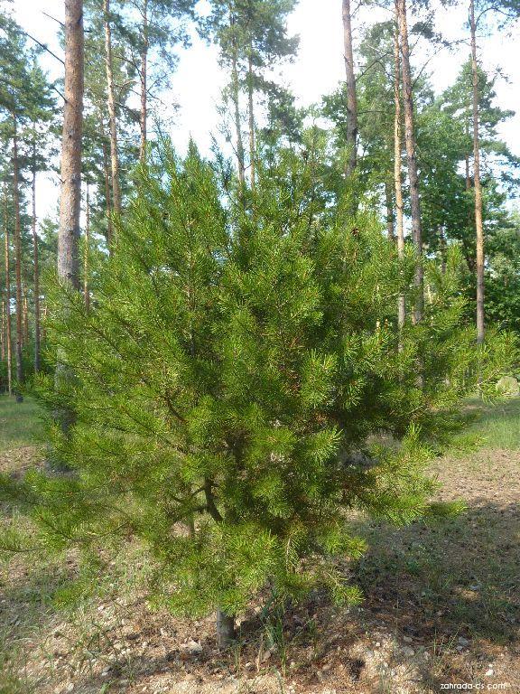 Borovice Bungeova (Pinus bungeana)