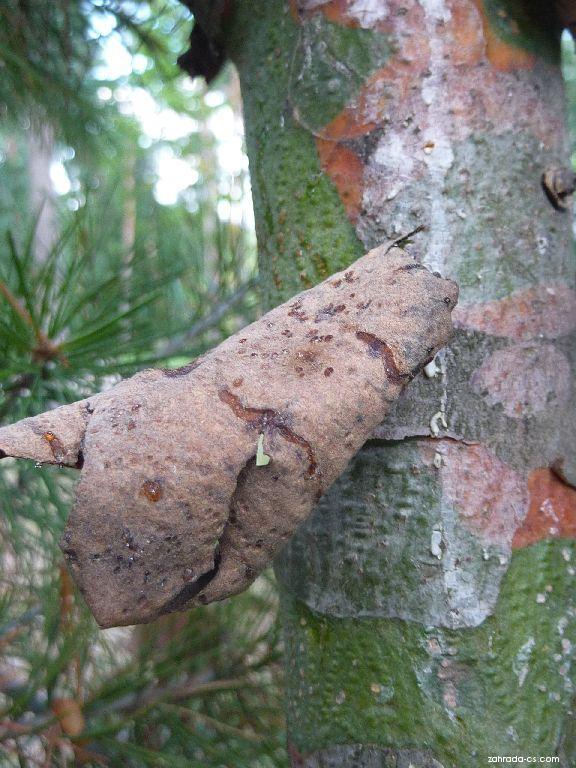 Borovice Bungeova - kmen (Pinus bungeana)