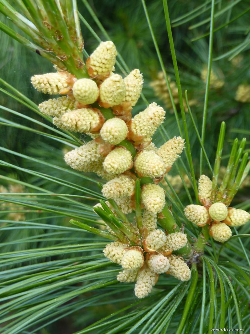 Borovice Armandova - květ (Pinus armandii)