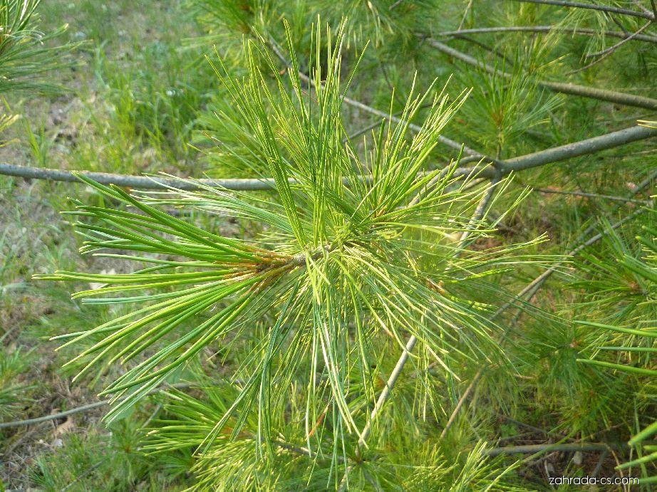 Borovice Armandova - jehličí (Pinus armandii)