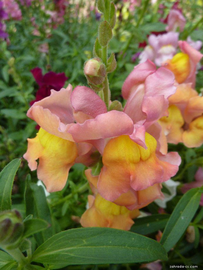 Hledík větší - květ (Antirrhinum majus)