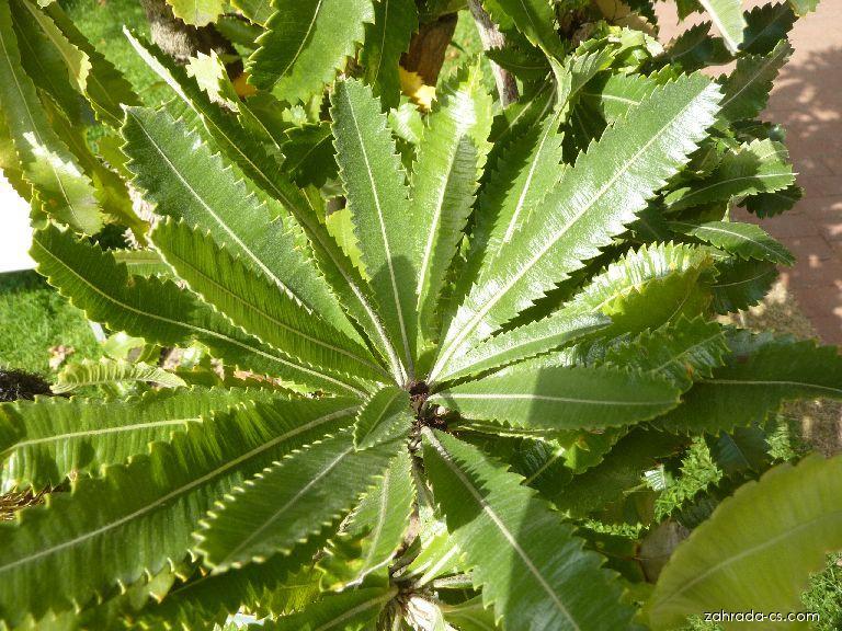 Banksie - listová růžice (Banksia serrata)