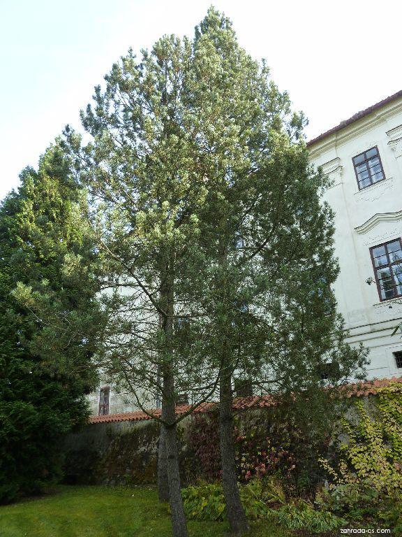 Borovice blatka (Pinus uncinata)