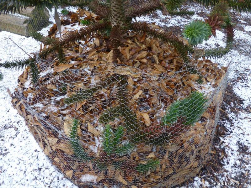 Blahočet chilský - ochrana před zimou (Araucaria araucana)