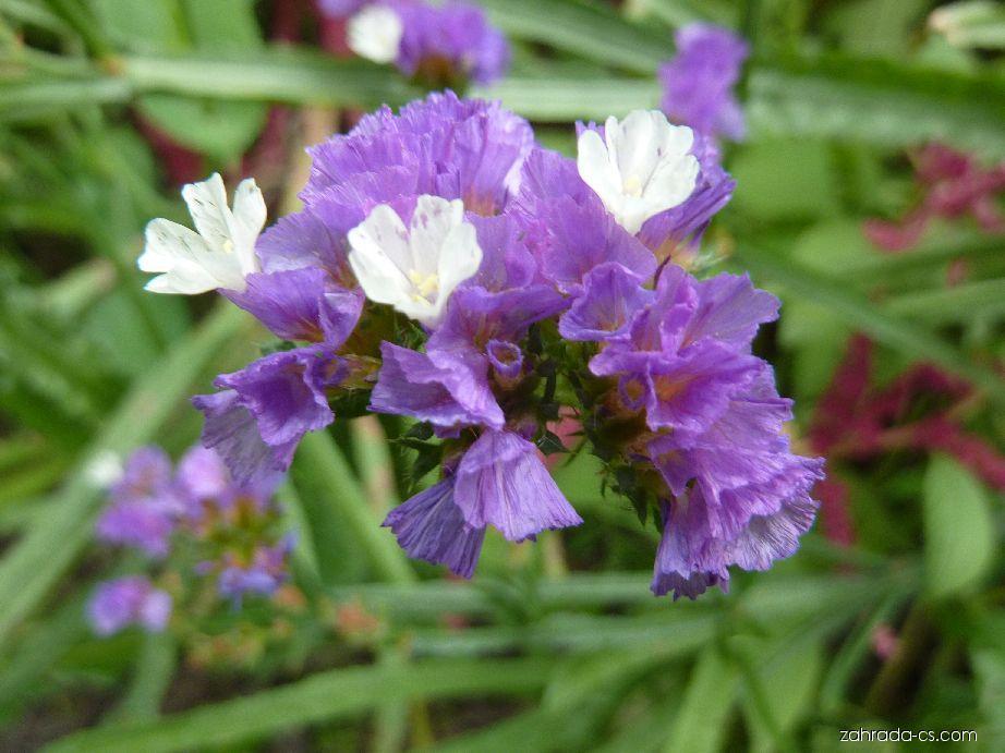 Limonka chobotnatá - květ (Limonium sinuatum)