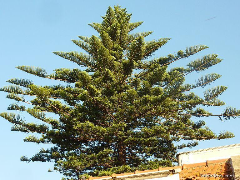 Blahočet různolistý (Araucaria heterophylla)