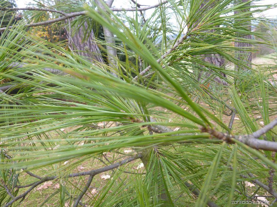 Borovice Armandova - jehlice (Pinus armandii)