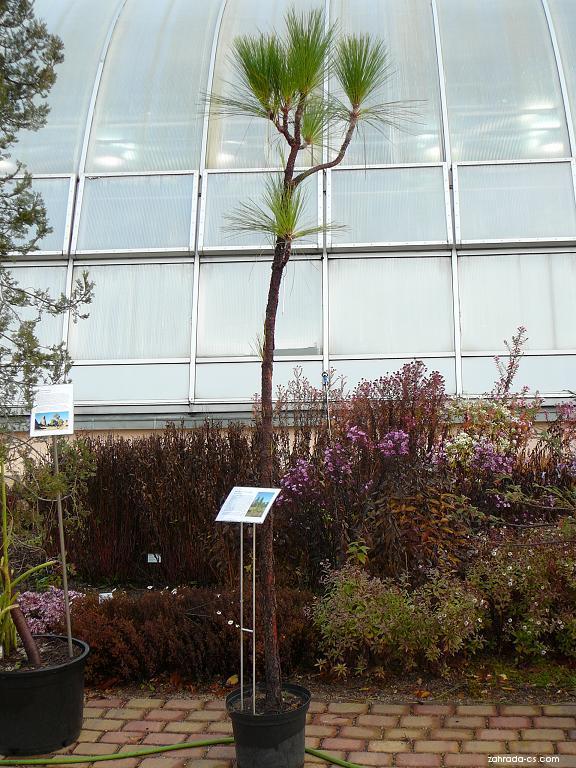 Borovice bahenní (Pinus palustris)