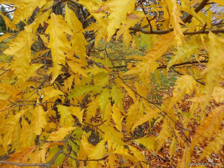 Buk lesní Aspleniifolia (Fagus sylvatica)