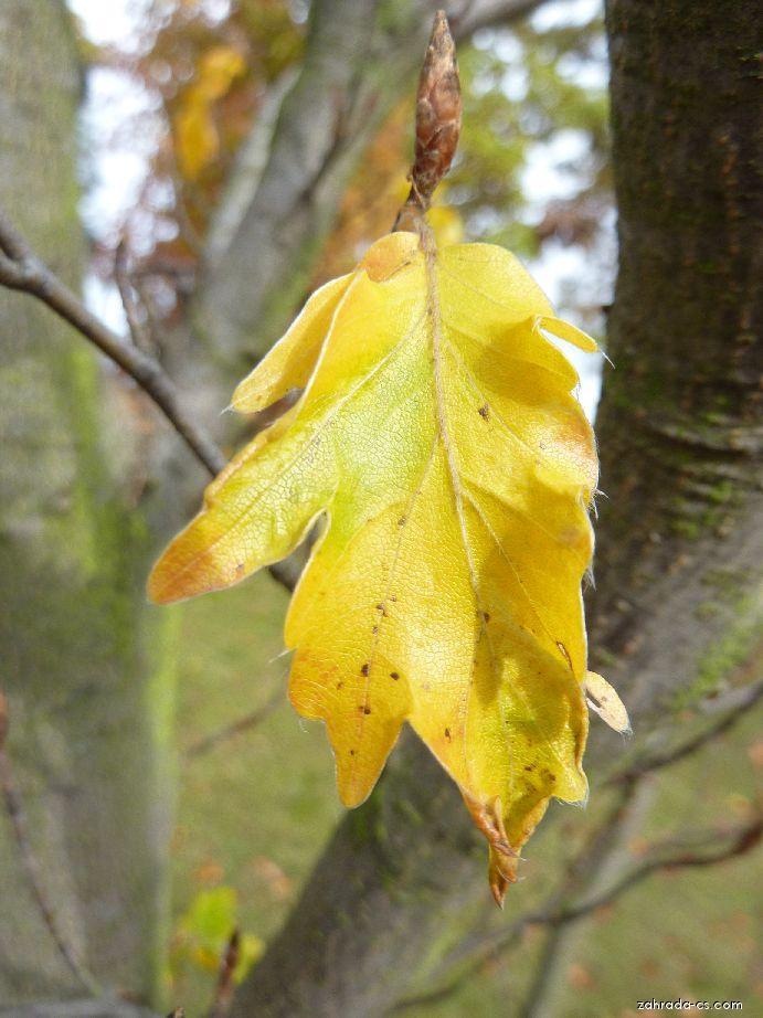 Buk lesní - list (Fagus sylvatica Quercifolia)