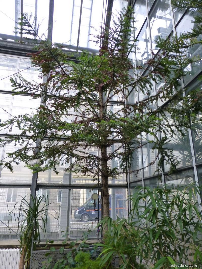 Blahočet Bidwillův (Araucaria bidwillii)