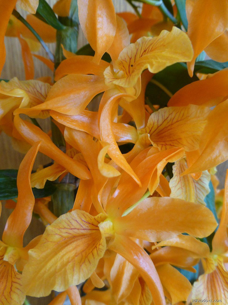 Dendrobium - květ (Dendrobium nobile)