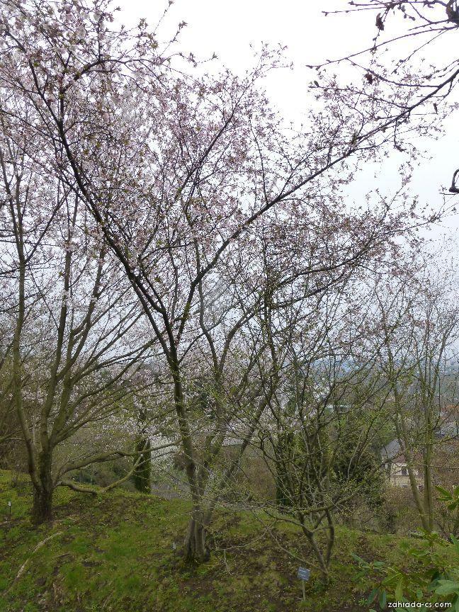 Třešeň chloupkatá - Prunus subhirtella Autumnalis Rosea