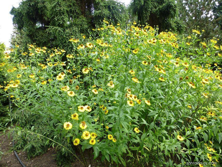 Záplevák Riverton Beauty (Helenium hybridum)