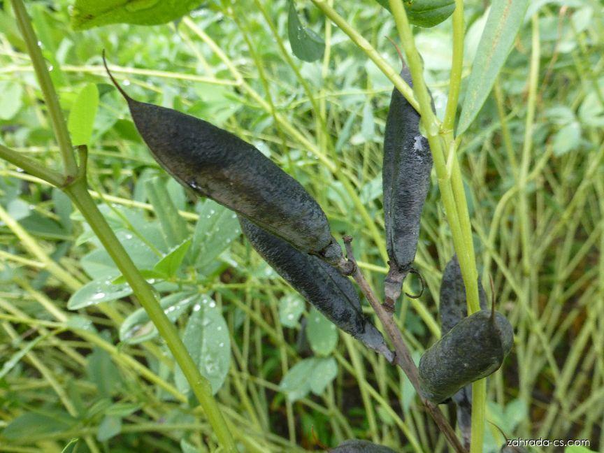 Baptisie jižní - plod (Baptisia australis)