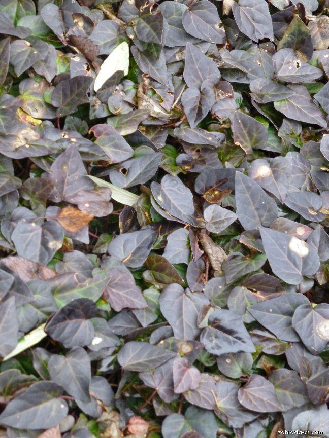 Břečťan kavkazský - v zimě (Hedera colchica)
