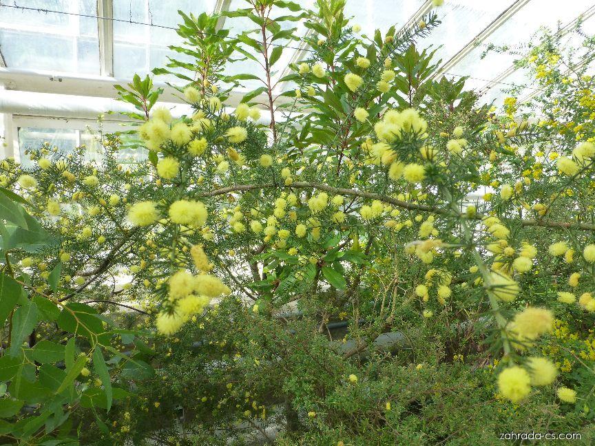 Akácie (Acacia verticillata)