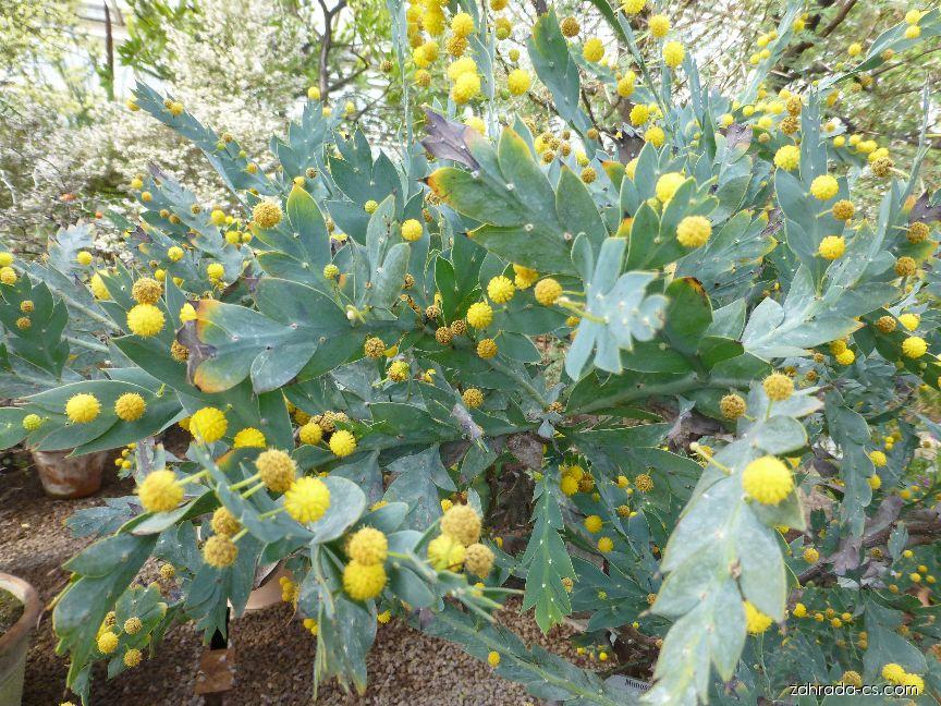 Akácie (Acacia glaucoptera)