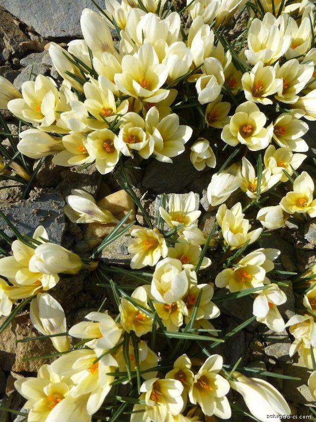 Krokus, šafrán - Crocus chrysanthus Cream Beauty