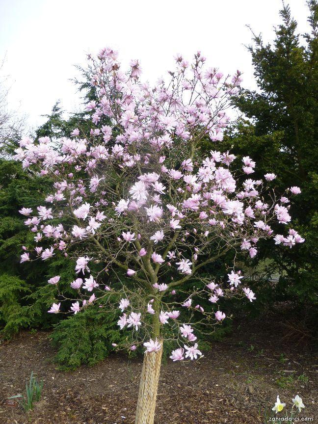 Šácholan hvězdovitý - Magnolia stellata Chrysanthemiflora