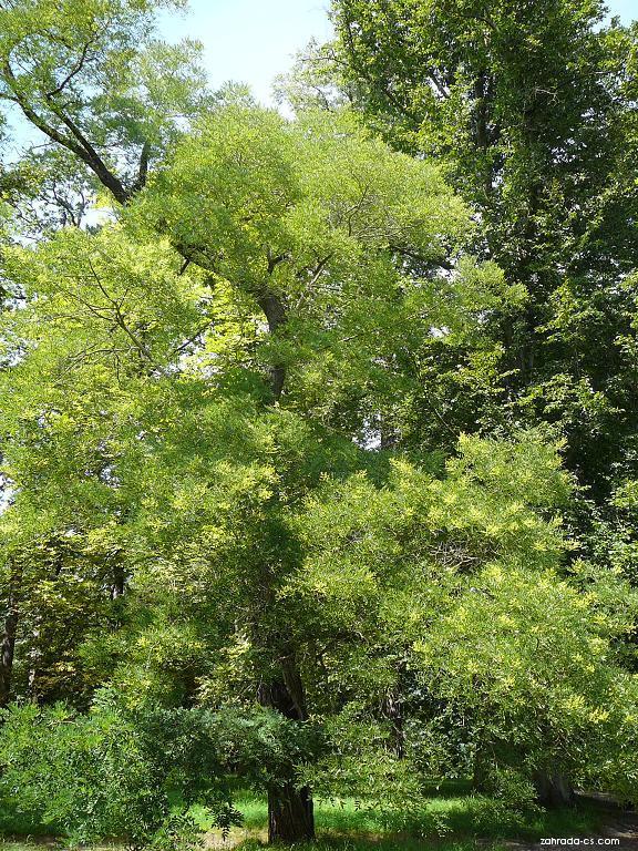 Jerlín japonský - Sophora japonica