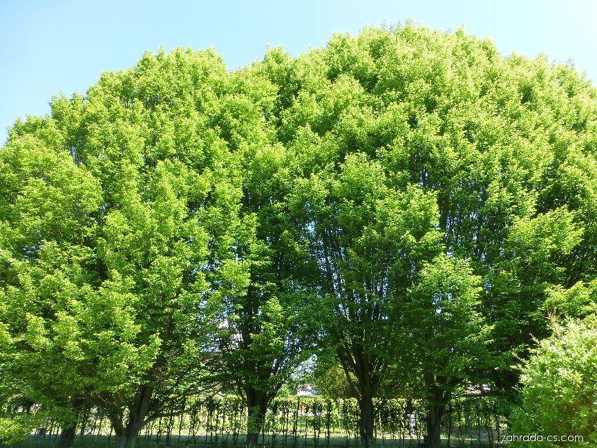 Habr obecný (Carpinus betulus Columnaris)