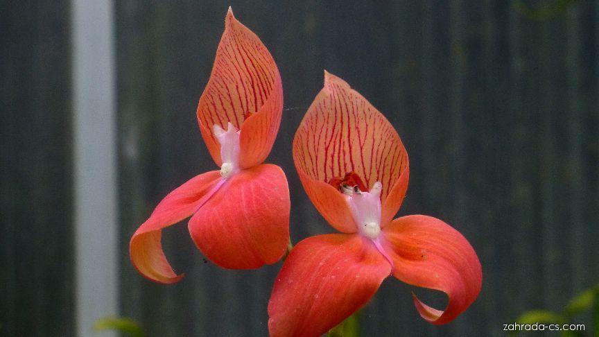 Disa - květ (Disa uniflora)