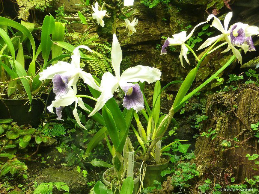 Laelia (Laelia purpurata var werkhaeuseri)