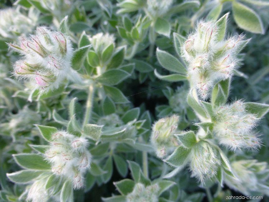 Bílojetel srstnatý - před rozkvětem (Dorycnium hirsutum)