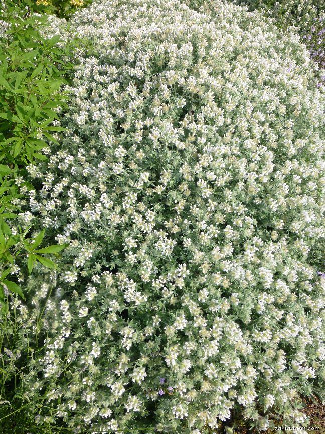 Bílojetel srstnatý (Dorycnium hirsutum)