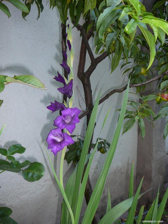 Gladiola (Gladiolus)