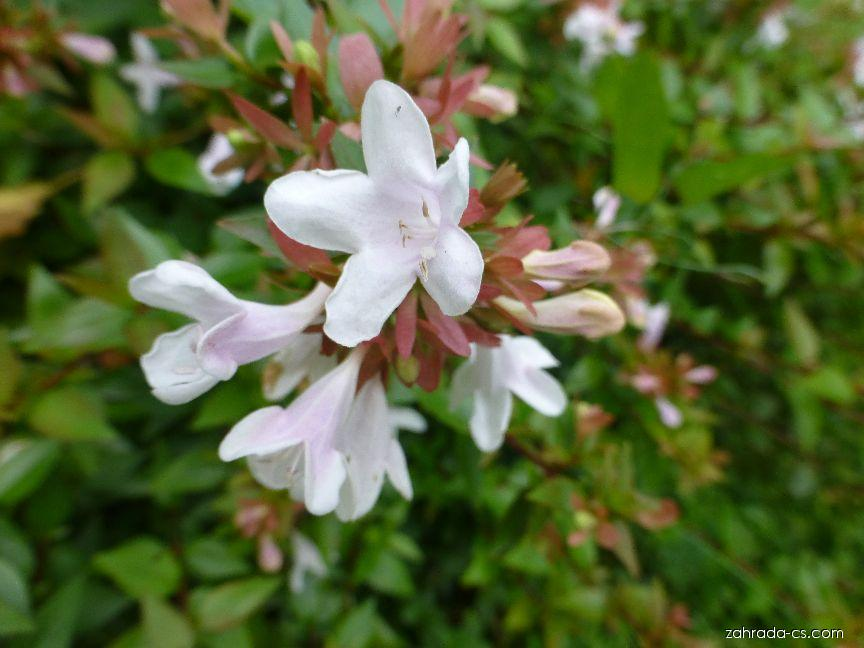 Abélie velkokvětá - Abelia x grandiflora Sherwood