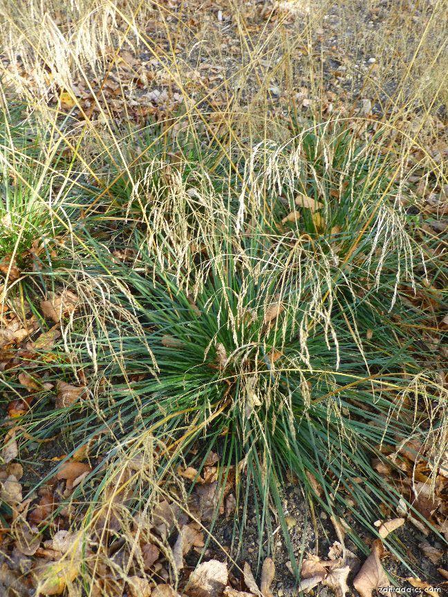 Metlice trsnatá Palava (Deschampsia caespitosa)