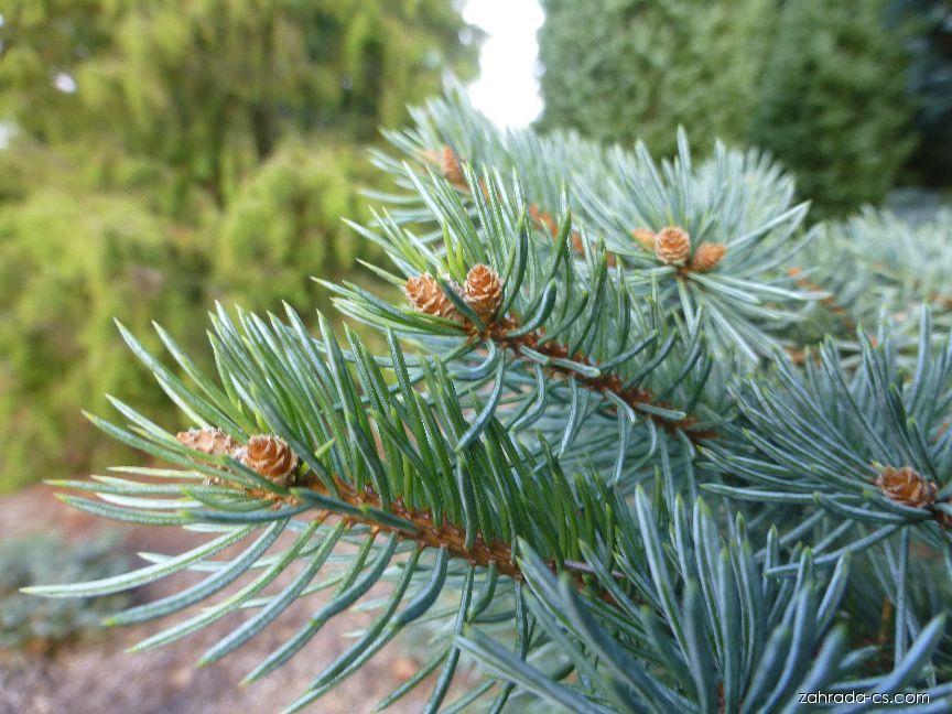 Smrk Lutzův Machala - jehlice (Picea x lutzii)