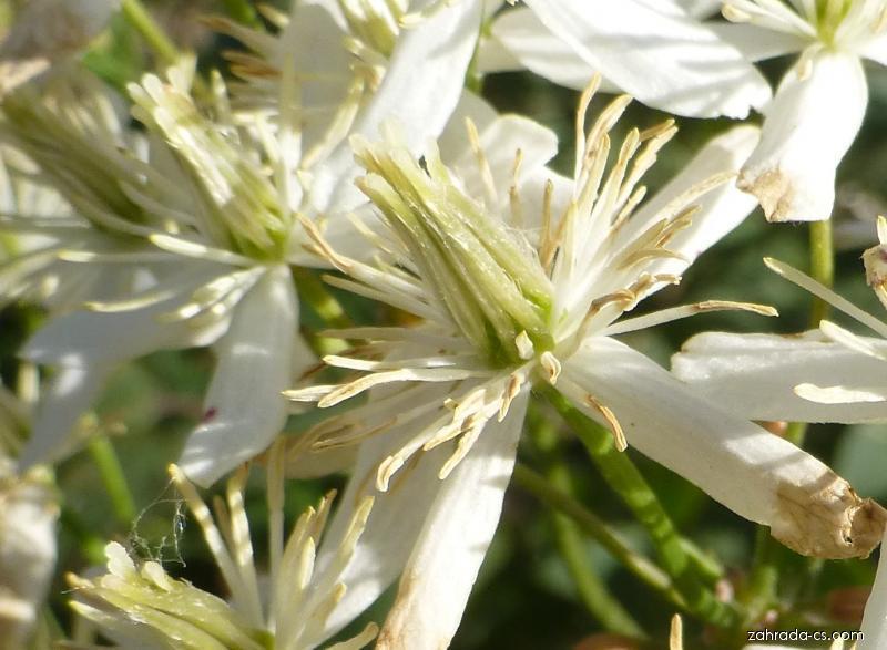 Plamének přímý - květ (Clematis recta)
