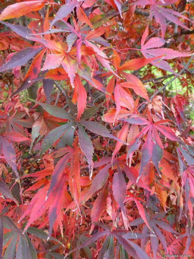 Javor dlanitolistý - Acer palmatum Wakehurst Pink