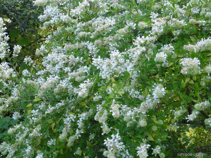 Abélie čínská (Abelia chinensis)