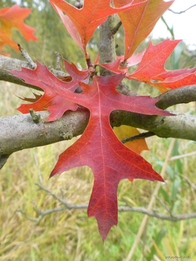 Dub bažinný - Quercus palustris Swamp Pygmy