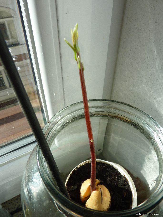 Avokádo - klíčení z pecky (Persea americana)