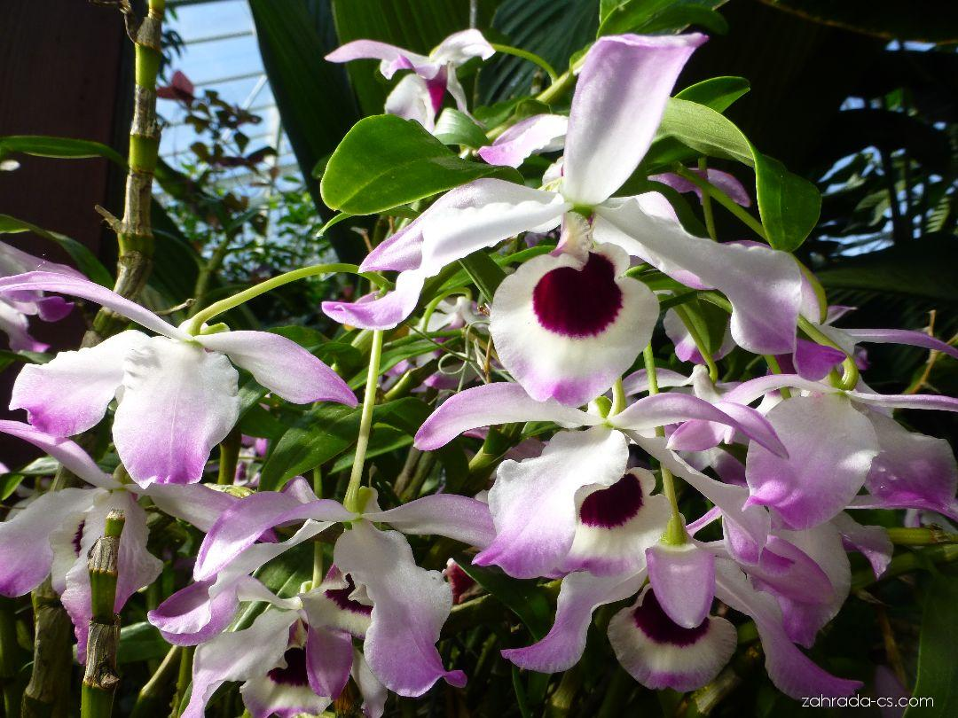 Stromobytec (Dendrobium nobile)