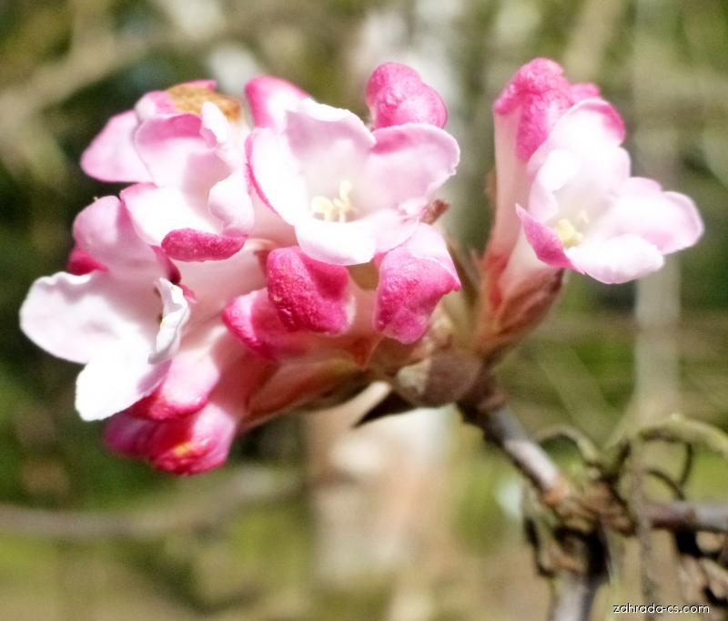 Kalina bodnantská - květ (Viburnum x bodnantense)