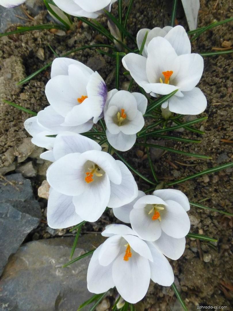 Šafrán zlatý - Crocus chrysanthus Ard Schenk