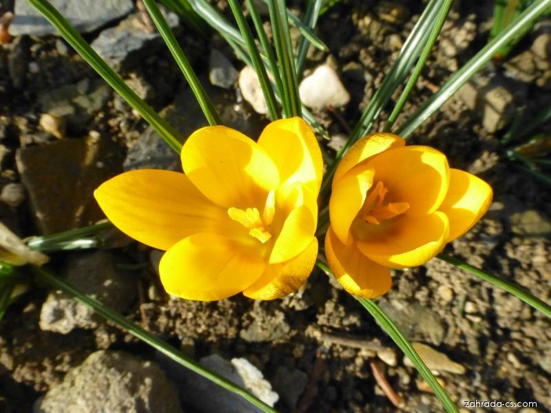 Šafrán zlatý - Crocus chrysanthus Goldilocks