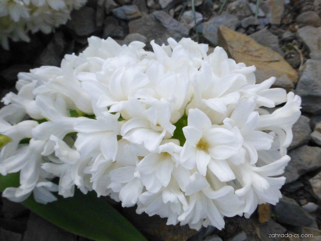 Hyacint východní - Hyacinthus orientalis Aiolos