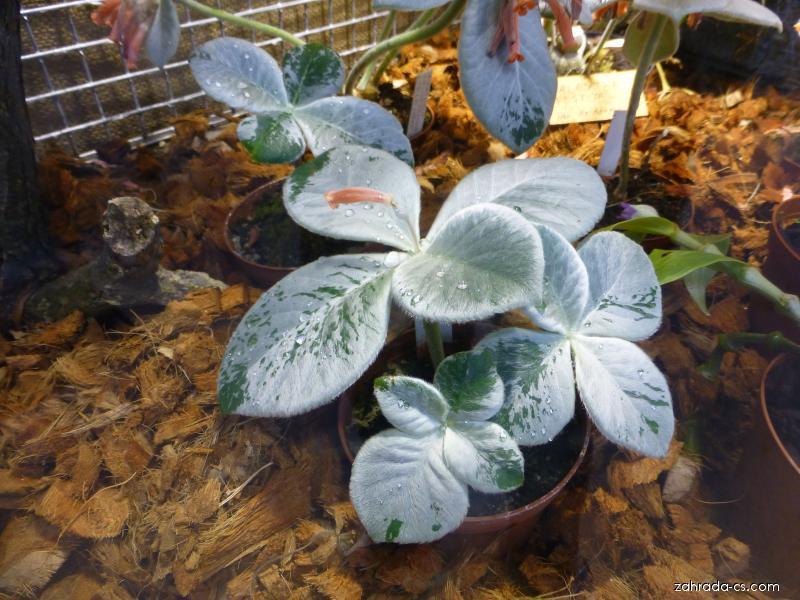 Sinningia (Sinningia leucotricha)