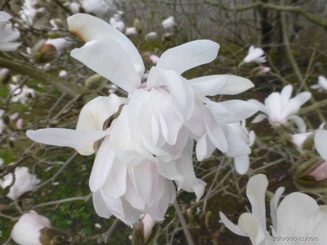 Šácholan hvězdovitý - Magnolia stellata Harvard Centennial