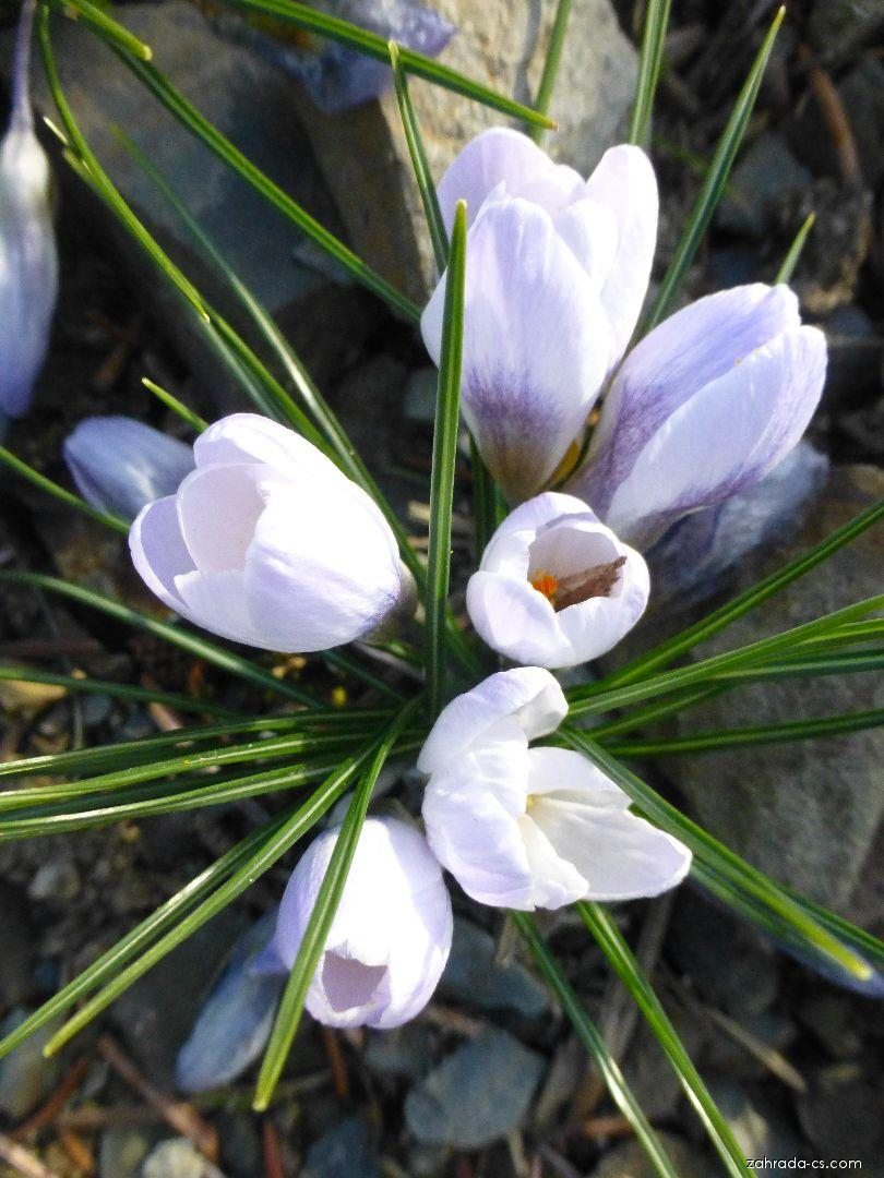 Šafrán zlatý - Crocus chrysanthus Blue Pearl