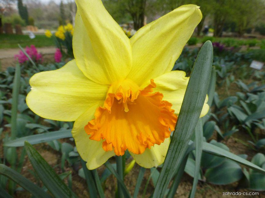 Narcis - Narcissus Fortissimo