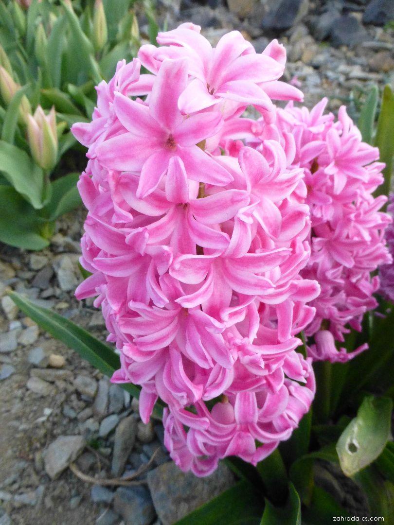 Hyacint východní - Hyacinthus orientalis Ibis